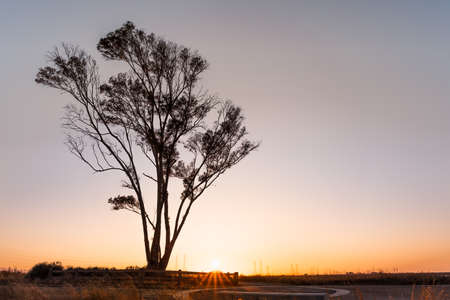 Sunset view of Eucalyptus tree growing on the shores of San Francisco Bay Area; California