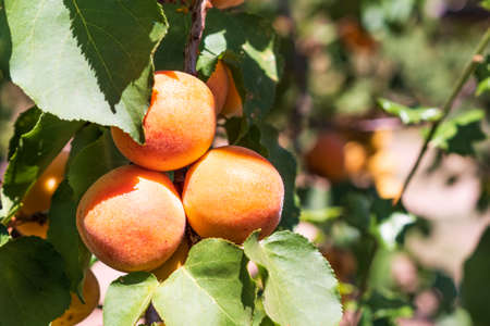 Close up of ripe Blenheim apricots on a branch in an orchard in Santa Clara valley, south San Francisco bay area, California 免版税图像