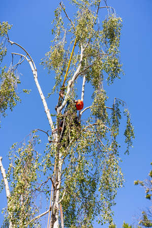 Worker high up in a birch tree, trimming the branches; California 免版税图像