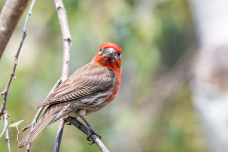 Close up of male House Finch (Haemorhous mexicanus) perched on a tree branch; San Francisco Bay Area, California; blurred background 免版税图像