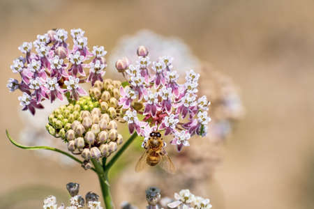 Close up of Narrow leaf milkweed (Asclepias fascicularis) blooming in summer; honey bee visible pollinating one of the flowers; San Francisco bay area, California