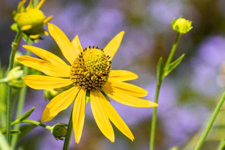 Close up of California Cone Flower (Rudbeckia Californica) blooming at Ulistac Natural area; Santa Clara, California