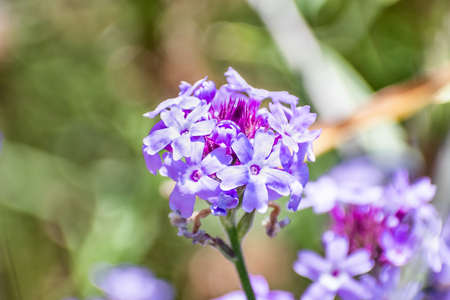 Close up of Lilac Verbena (Verbena lilacina 'De La Mina'), endemic to Baja Calidoenia, blooming at Ulistac Natural Area, Santa Clara, California; 免版税图像 - 151846557