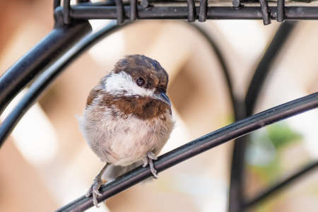 Close up of Chestnut backed Chickadee (Poecile rufescens); blurred background, San Francisco bay area, California 免版税图像