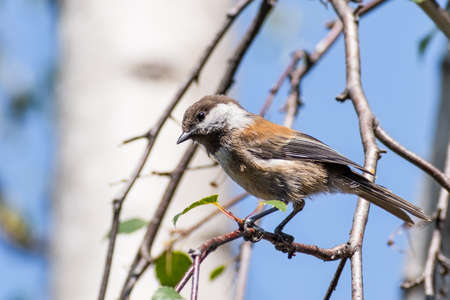 Close up of Chestnut backed Chickadee (Poecile rufescens) perched on a birch tree branch; blurred background, San Francisco bay area, California 免版税图像 - 151715838