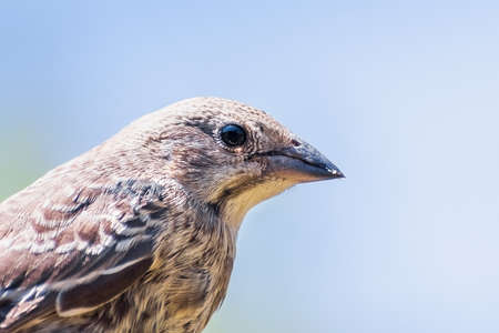 Close up of Brown-headed Cowbird (Molothrus ater) fledgling; Cowbirds are brood parasites, laying their eggs in the nests of other species