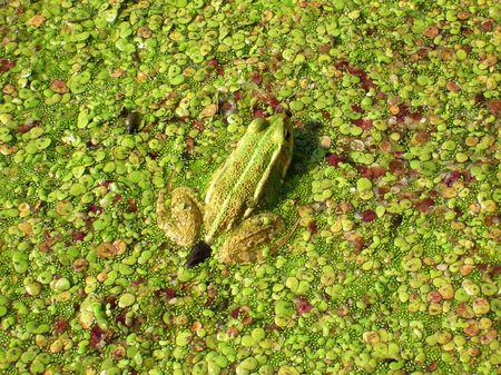 limnetic: frog