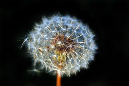 blowball: dandelion, blowball