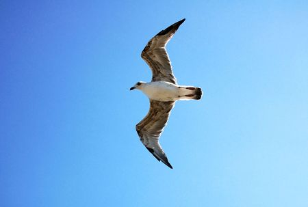 Big seagull flying in the blue sky