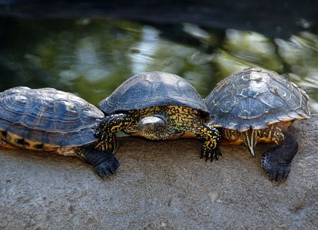 Turtle, red-eared slider (Trachemys scripta elegans)  Stock Photo