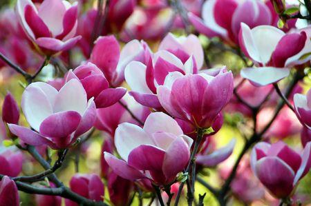 Bloomy magnolia boom met grote roze bloemen
