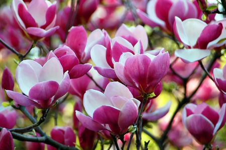 the magnolia: Bloomy magnolia tree with big pink flowers