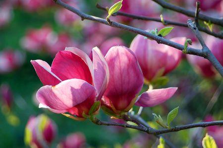 magnolia tree: Bloomy magnolia tree with big pink flowers