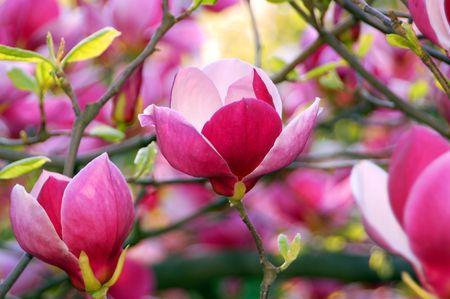 bloomy: Bloomy magnolia tree with big pink flowers