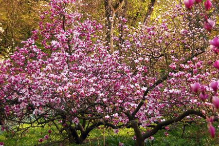 Bloomy magnolia tree with big pink flowers