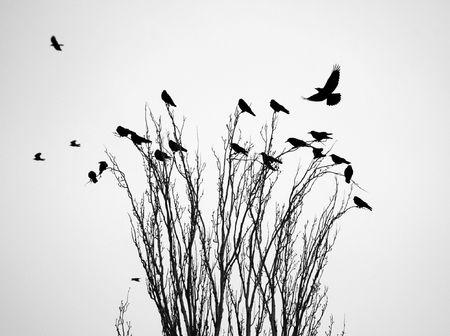 Black raven (crow) on the tree branch
