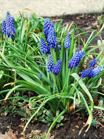 balmy: Beautiful grape hyacinth (muscari) with fresh balmy blossom