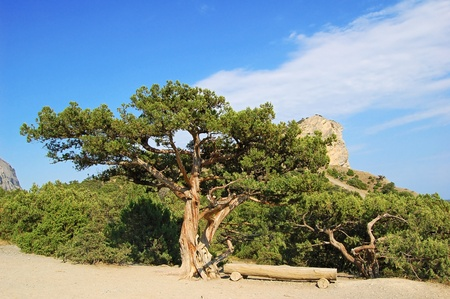 rocky mountain juniper: Juniper tree and wooden bench at Noviy svet, Crimea, Ukraine Stock Photo