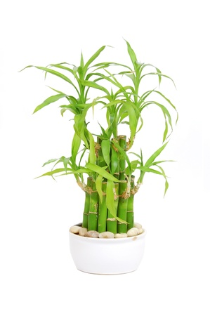 Lucky bamboo (Dracaena sanderiana), isolated on white background
