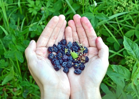 Blueberry (rubus) in hand against green nature background photo