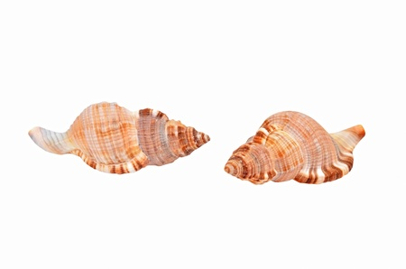 mollusca: Cockleshell of the Black Sea Rapana venosa (thomassiana)