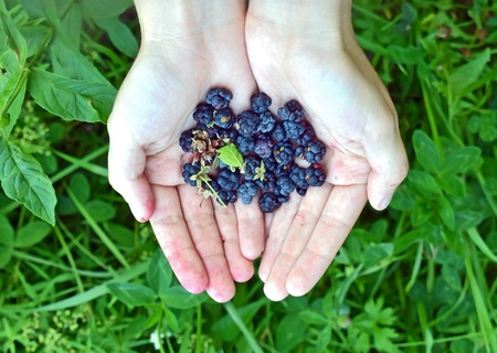 Blackberry (rubus) in hand against green nature background photo