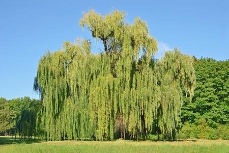 Treurwilg boom in het openbare park