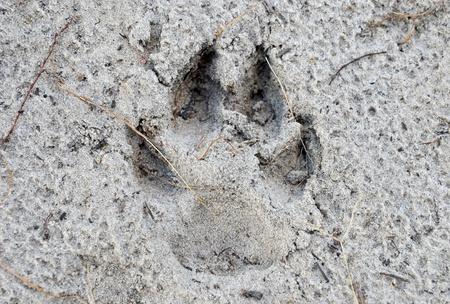 huellas de perro: Huellas de perro en la arena mojada de cerca Foto de archivo