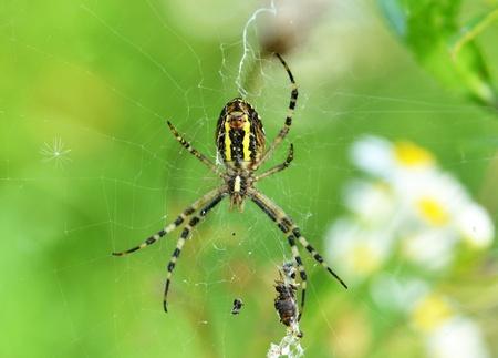 Wasp spider (Argiope bruennichi) with victim on cobweb photo