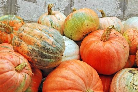 Harvest of beautiful big ripe autumn pumpkin photo