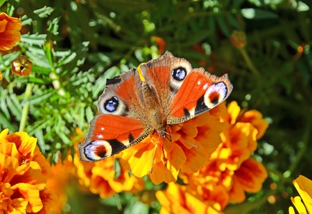 inachis: European Peacock butterfly (Inachis io) on a yellow flower