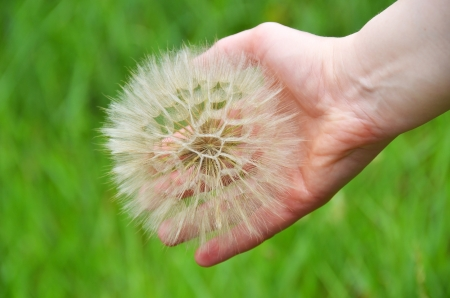 Large dandelion in hand against green nature background photo