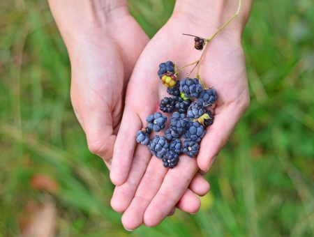 Blackberry  rubus  in hand against green nature background photo