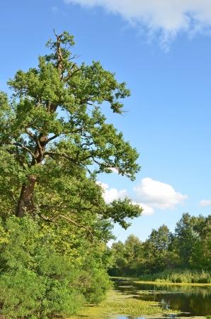 Oak tree over forest lake, Kiev, Ukraine photo