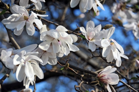 Bloomy magnolia tree with big white flowers photo