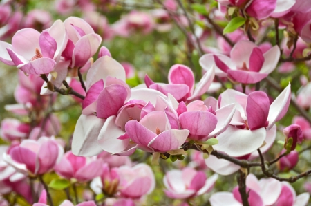 Bloomy magnolia tree with big pink flowers stock photo picture and bloomy magnolia tree with big pink flowers stock photo 19476671 mightylinksfo