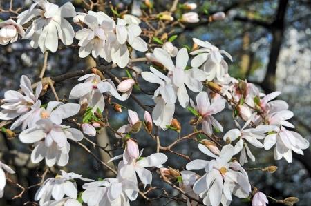 bloomy: Bloomy magnolia tree with big white flowers