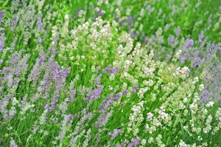 balmy: Beautiful lavender flower with fresh balmy blossom