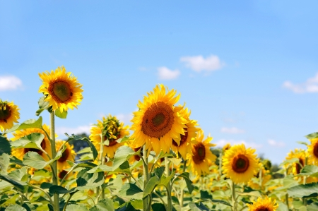 helianthus annuus: Beautiful sunflower (Helianthus) and blue sky with bright sun lights
