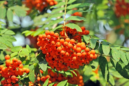 european rowan: Rowan berries, Mountain ash (Sorbus) tree with ripe berry Stock Photo