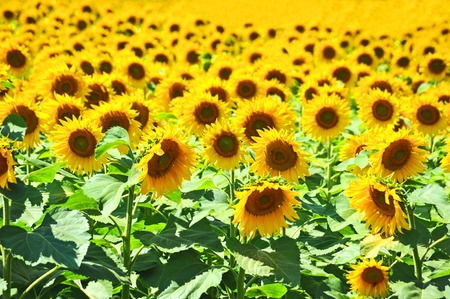 helianthus annuus: Beautiful landscape with sunflower (Helianthus) field and bright sun lights Stock Photo