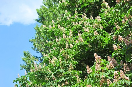 castanea sativa: Flowering branches of chestnut (Castanea sativa) tree Stock Photo