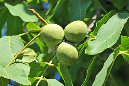 walnut tree: Walnut tree (Juglans regia) branch with fruit