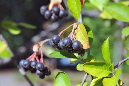european rowan: Black ashberry (Aronia melanocarpa) tree with ripe berry