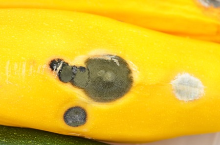 spoilage: Molded vegetable marrow (zucchini), close up, DOF