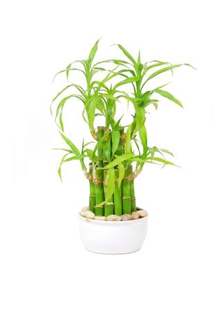 lucky bamboo: Lucky bamboo (Dracaena sanderiana), isolated on white background