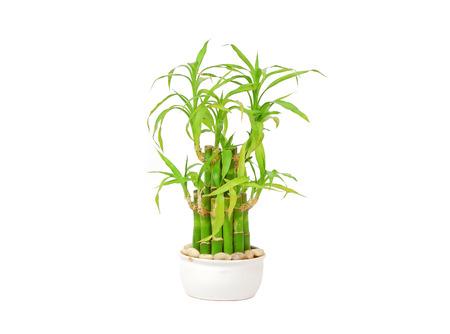 lucky bamboo: Lucky bamboo (Dracaena sanderiana) in a traditional porcelain pot