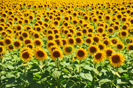 helianthus: Beautiful landscape with sunflower (Helianthus) field and bright sun lights Stock Photo