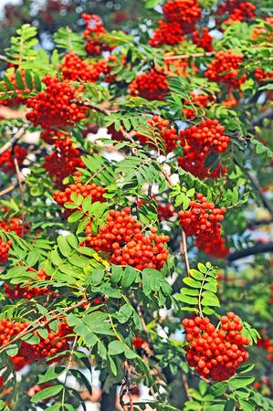 ash berry: Rowan berries, Mountain ash (Sorbus) tree with ripe berry Stock Photo