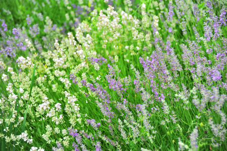 balmy: Beautiful lavender flower with fresh balmy blossom Stock Photo